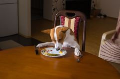 Basenji dog is having lunch sitting all alone in dining room Royalty Free Stock Images
