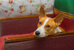 Basenji dog having rest on an old shabby chair Stock Images