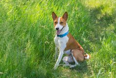 Basenji dog having rest in spring grass Stock Photography