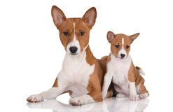 Basenji dog and her puppy Royalty Free Stock Photography