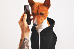 Basenji dog in hoodie with smartphone Royalty Free Stock Photography