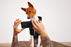 Basenji dog in hoodie with smartphone Stock Images