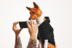 Basenji dog in hoodie with smartphone Stock Photo