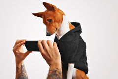 Basenji dog in hoodie with smartphone Royalty Free Stock Images