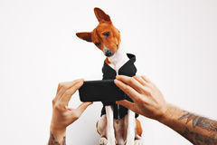 Basenji dog in hoodie with smartphone Stock Photos