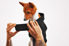 Basenji dog in hoodie with smartphone Royalty Free Stock Photo