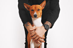 Basenji dog hugged by the owner Royalty Free Stock Images