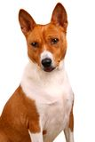 Basenji dog isolated on white Stock Photos