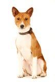 Basenji dog isolated on white Royalty Free Stock Photo