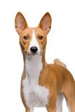Basenji dog isolated on white Royalty Free Stock Photography