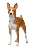 Basenji dog isolated on white Stock Image