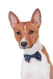 Basenji dog isolated on white Stock Photos