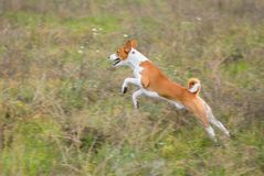 Basenji dog in jump Royalty Free Stock Image