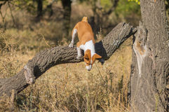 Basenji dog jumping off from nearest tree at fall forest Royalty Free Stock Photography