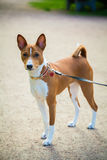 Basenji dog on a lead Stock Photography