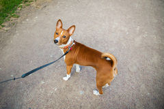 Basenji dog with a lead walking outside stock photography