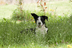 Basenji dog. Lies in the meadow Royalty Free Stock Photos