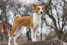 Basenji dog looking around standing on a tree branch Stock Photo