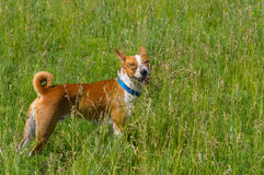 Basenji dog looking for some fun in wild spring herbs Stock Photography