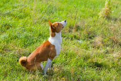 Basenji dog is looking up on the sky Stock Photography
