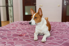 Basenji dog is lying on the bed-spread Royalty Free Stock Image