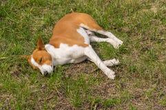 Basenji dog lying on ground in spring garden Royalty Free Stock Images