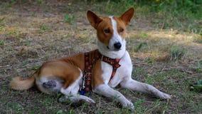 Basenji dog lying under tree shadow at summer garden stock video