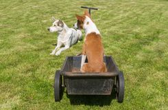 Basenji dog with mixed-breed friend are ready for the cool ride on a wheel barrow. Over sunny garden. The master-driver is late Royalty Free Stock Photography