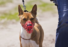 Basenji dog in a muzzle for coursing. Royalty Free Stock Image