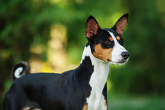 Basenji dog outside on green grass Stock Photos