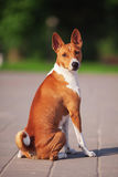 Basenji dog outside on green grass Stock Images