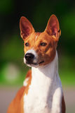 Basenji dog outside on green grass Royalty Free Stock Photos