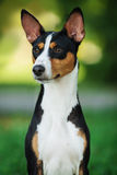 Basenji dog outside on green grass Stock Photography