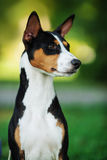 Basenji dog outside on green grass Royalty Free Stock Photo