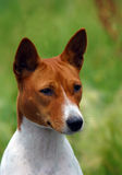 Basenji dog portrait Royalty Free Stock Photo