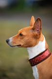 Basenji dog portrait. A beautiful brown and white Basenji dog head portrait with cute expression in the face watching other dogs Stock Photos