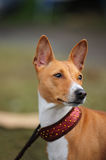 Basenji dog portrait. A beautiful brown and white Basenji dog head portrait with cute expression in the face watching other dogs on the park outdoors Royalty Free Stock Photos