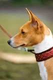 Basenji dog portrait. A beautiful brown and white Basenji dog head portrait with cute expression in the face watching other dogs Stock Photo