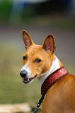 Basenji dog portrait. A beautiful brown and white Basenji dog head portrait with cute expression in the face watching other dogs Stock Images