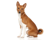Basenji dog royalty free stock photography