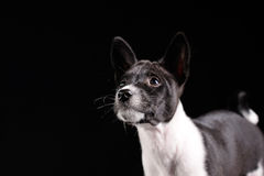 Basenji dog puppy Royalty Free Stock Images