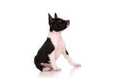 Basenji dog puppy Stock Photo