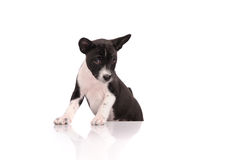 Basenji dog puppy Stock Image