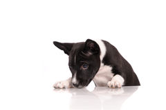Basenji dog puppy Stock Images