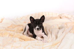 Basenji dog puppy Stock Photos