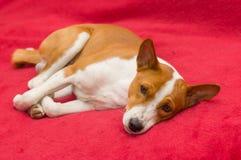 Basenji dog resting on red sofa Royalty Free Stock Photography