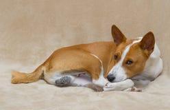 Basenji dog resting on a sofa Stock Photography
