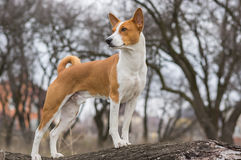 Basenji dog shows it's exterior. Standing on a tree branch Stock Image