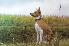 Basenji dog sits amid fields Royalty Free Stock Photos