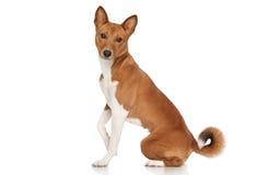 Basenji dog stock image